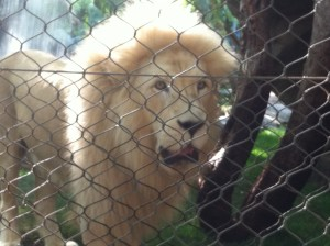 Secret Garden Lions