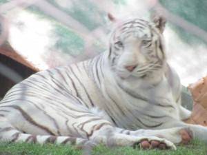 Secret Garden Tigers
